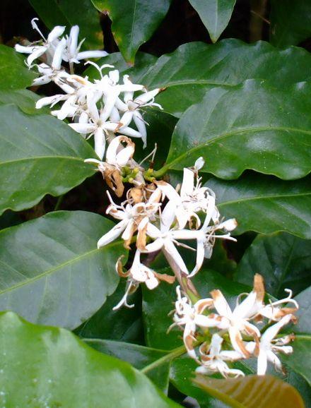 070427コーヒーの花.JPG