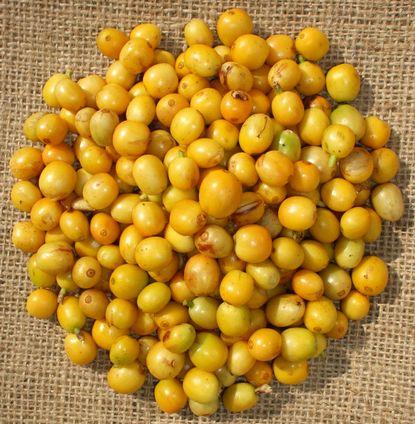 071214収穫したアマレロ.JPG