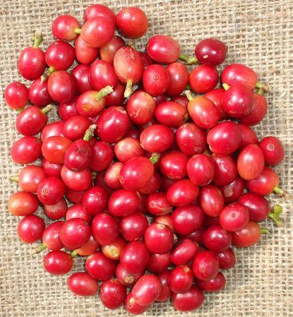 071214収穫したコーヒーの赤い実.JPG