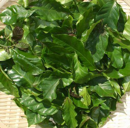 0712コーヒーの葉の茶2.JPG