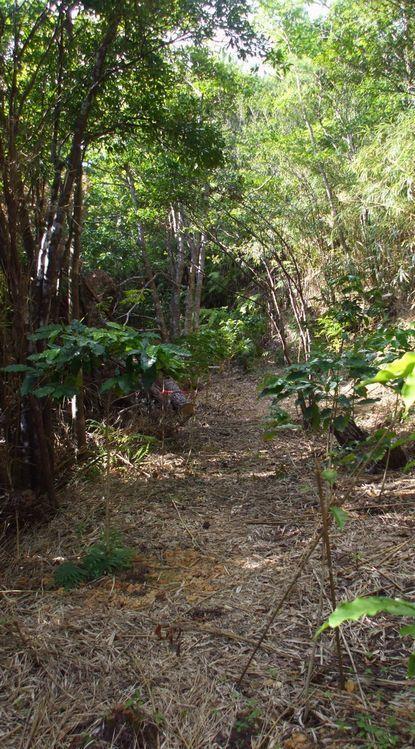 080705移植したコーヒー苗木たち.JPG
