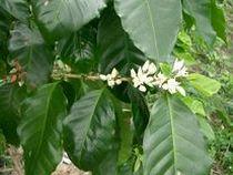 コーヒーの花0512−1.jpg