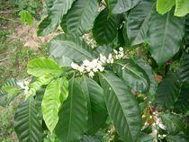 コーヒーの花0512−2.jpg