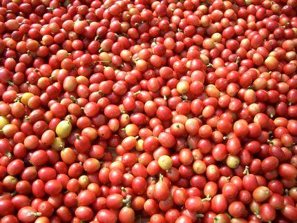 収穫した「沖縄コーヒー」のタ.jpg