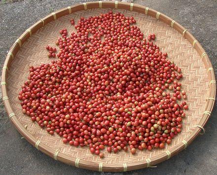 収穫したコーヒーのタ.jpg