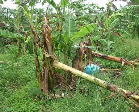 台風3号によるバナナの倒壊.jpg