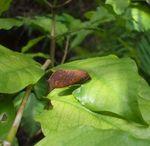 クヌギカレハ琉球亜種1.JPG