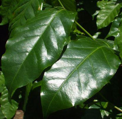 コーヒーの葉1.JPG