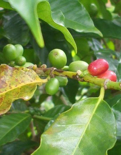 コーヒー苗木1122.JPG