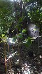 コーヒー苗木とクモの巣.JPG