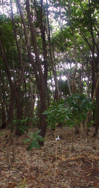コーヒー苗木の移植0910.JPG