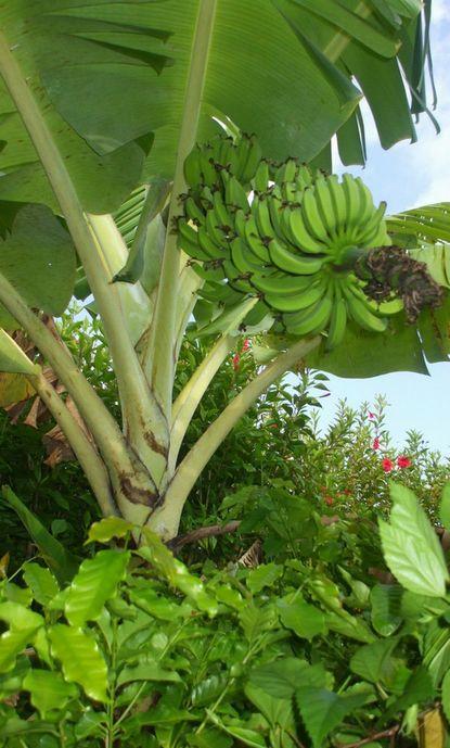 テスト圃場のバナナとコーヒー.JPG