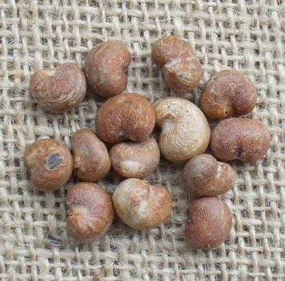 バオバブの種0816.JPG