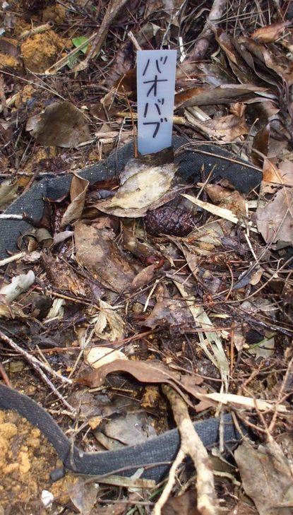 バオバブの種植え0818.JPG
