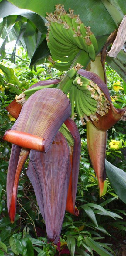 バナナの花.JPG
