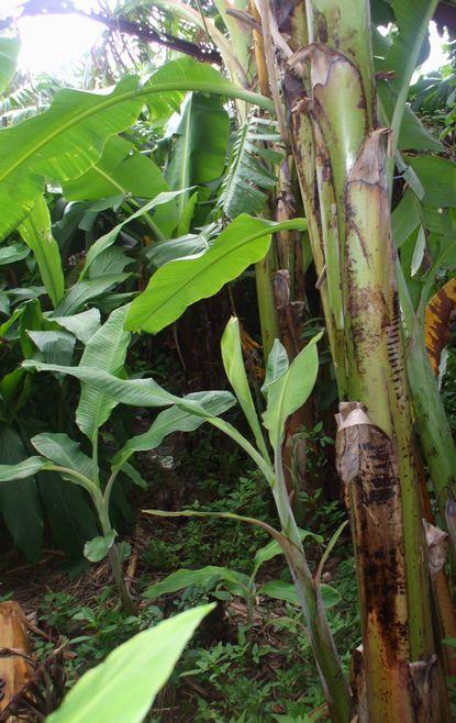 バナナの子株0908.JPG
