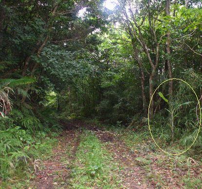 バナナロードに移植した島バナナ1.JPG