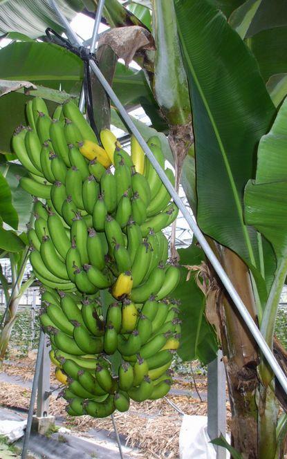 フィリピンバナナの果房.JPG