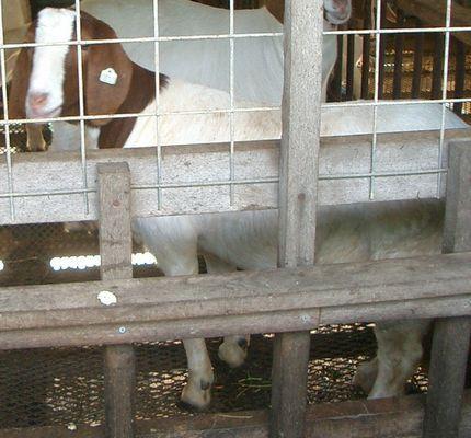 ヤギ(ボーア種)120601.jpg
