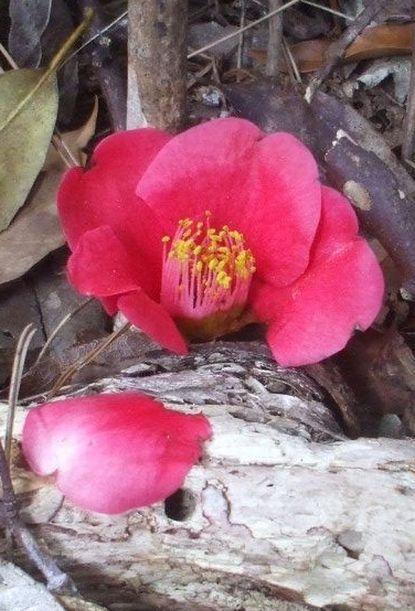 ヤブツバキの花.JPG