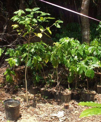 移植した苗木とポット苗木の比較.JPG