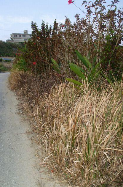 除草剤を撒かれた圃場1.JPG