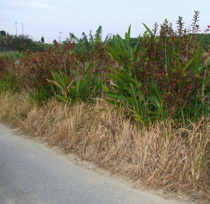 除草剤を撒かれた圃場2.JPG