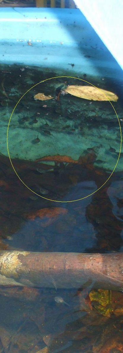 水槽内のオタマジャクシ.JPG