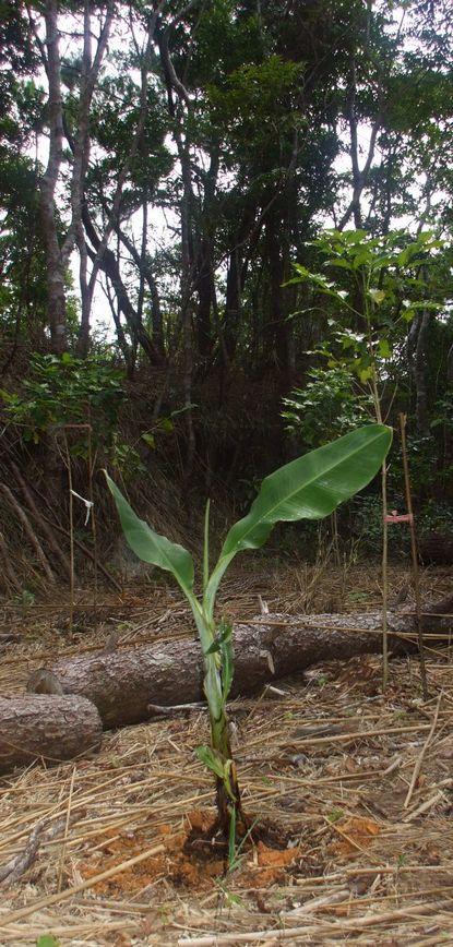 竹の広に植えたバナナ子株1.JPG