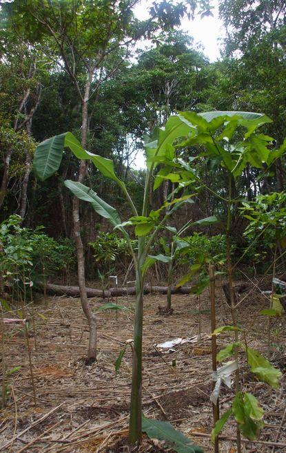 竹の広場に植えたバナナ.JPG