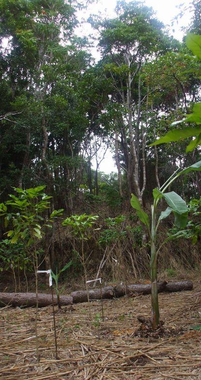 竹の広場に植えたバナナ子株2.JPG