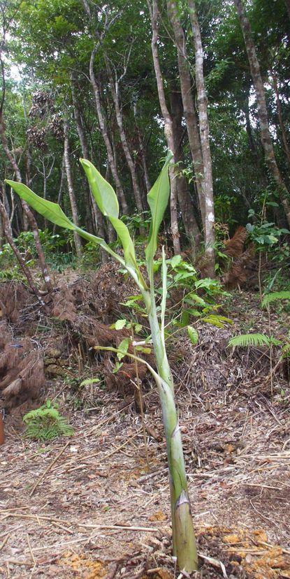 竹の広場に植えたバナナ子株3.JPG