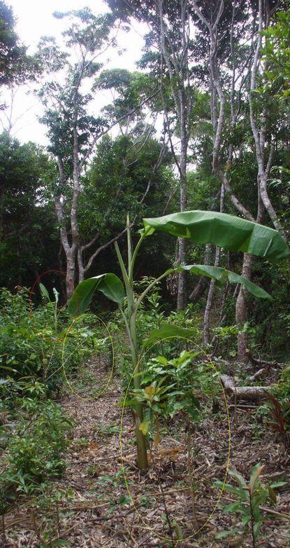 南山スロープに植えたバナナ子株2.JPG