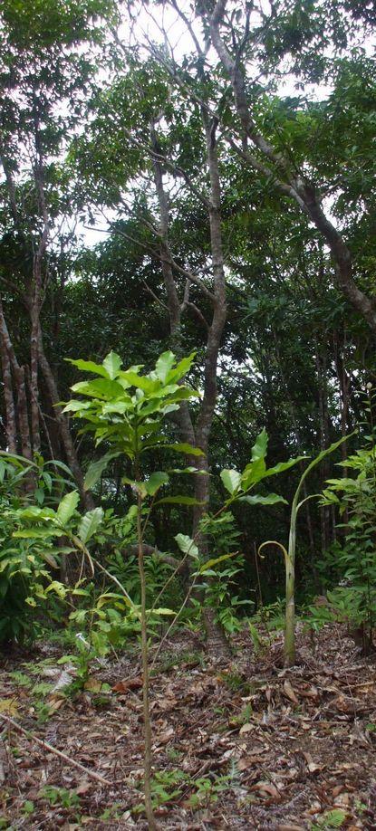 南山頂上に植えたバナナ子株1.JPG