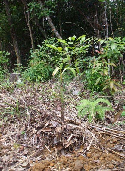 南山頂上に植えたバナナ子株2.JPG