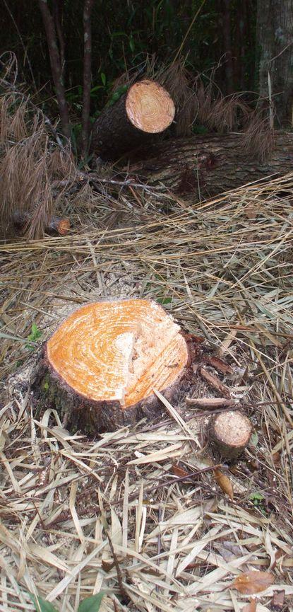伐採した松1.JPG