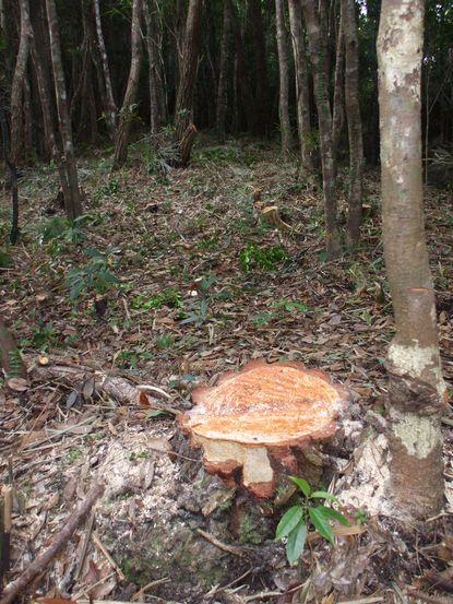 伐採した松2.JPG