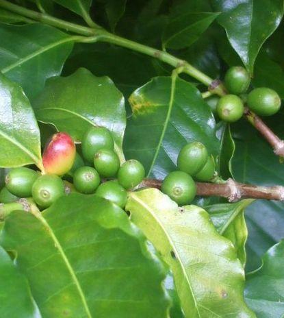 圃場のコーヒー1008−2.JPG