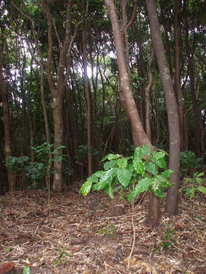 北山山頂付近に移植したコーヒー苗木.JPG