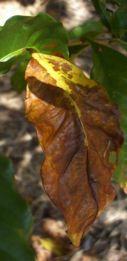 落葉する葉3.JPG