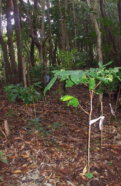 林床のコーヒー1108−1.JPG