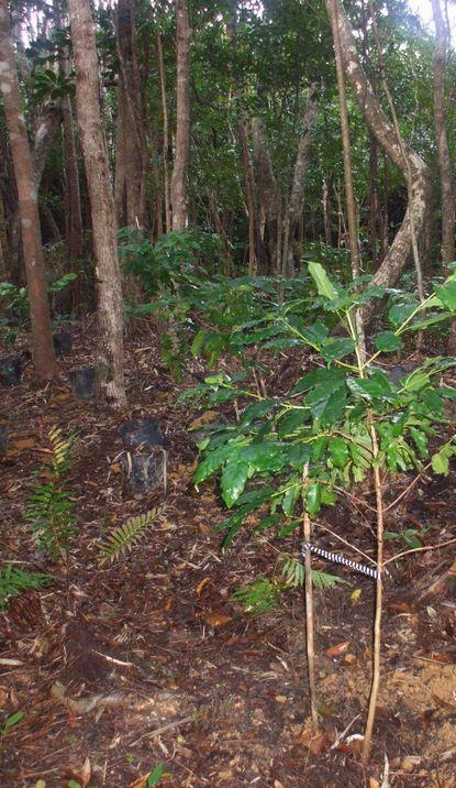 林床のコーヒー1108−2.JPG