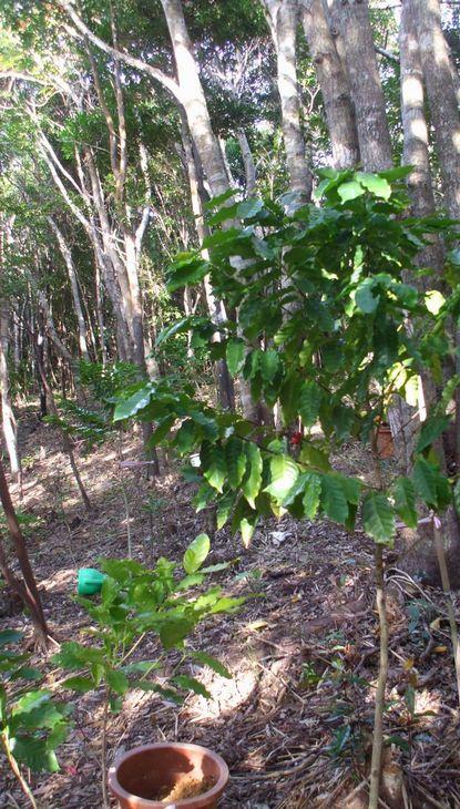 林床地に植えたコーヒー1209.JPG