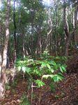 林床地の苗木090820.JPG