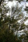 コーヒー山の西側の松の樹形20121022.JPG