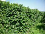 ヤマーコーヒー農園110821-1.jpg