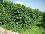 ヤマーコーヒー農園110821-2.jpg
