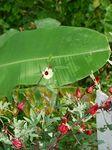ローゼルの花111209.JPG