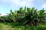 台風前の大バナナ園20120803.JPG