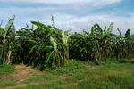 大バナナ園20120731.JPG
